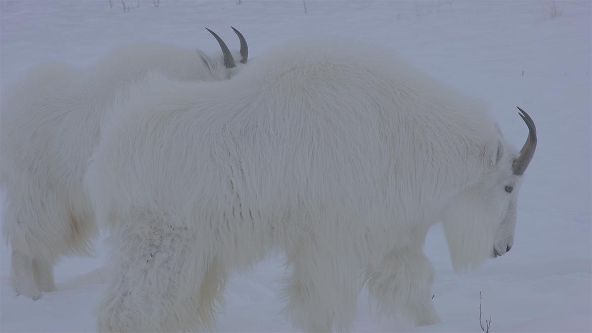 写真9 シロイワヤギのカット。オートフォーカスボタン1つでピンとはOKだった